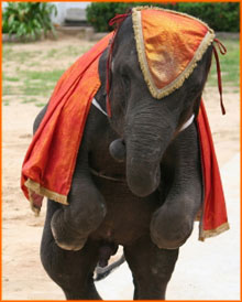 Young elephant in a orange dress, dancing on two hind legs.
